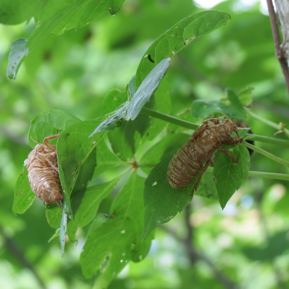 return of the 17-year cicada | Wood and Field