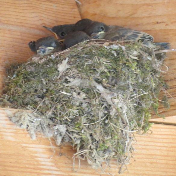 Phoebes three days before leaving the nest
