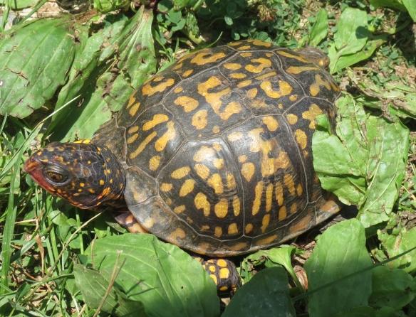 Easternbox turtle