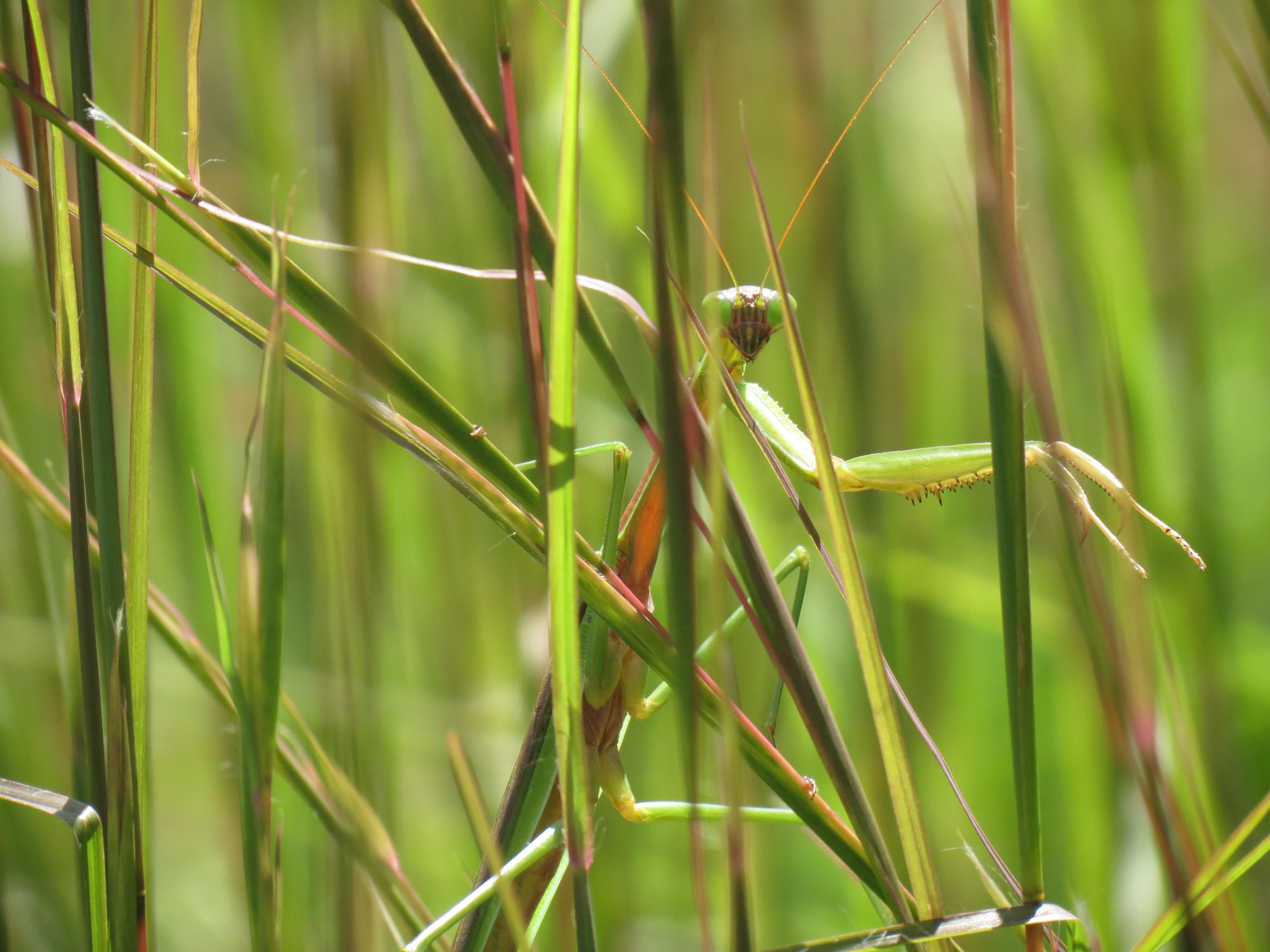 Praying Mantis Camouflage Coloring Page