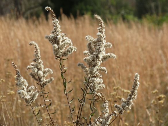 Goldenrod requires its seeds to chill for four months before germination.