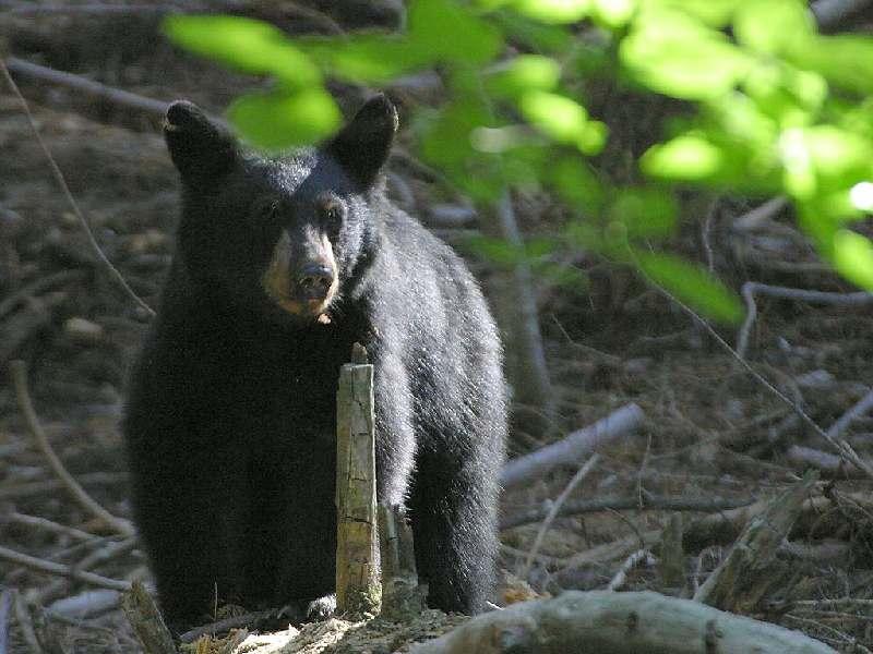 Black bear cub. Photo by beautifulfreepictures.com