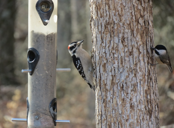 Downy Woodpeckers and Black-capped Chickadees often show up at the feeder together