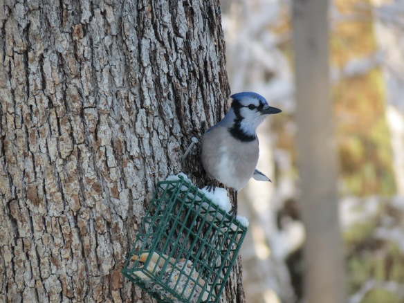 Northern blue jay