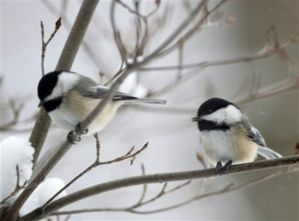 This chickadee pair is foraging together but the male will dominate at the feeder. Google images.