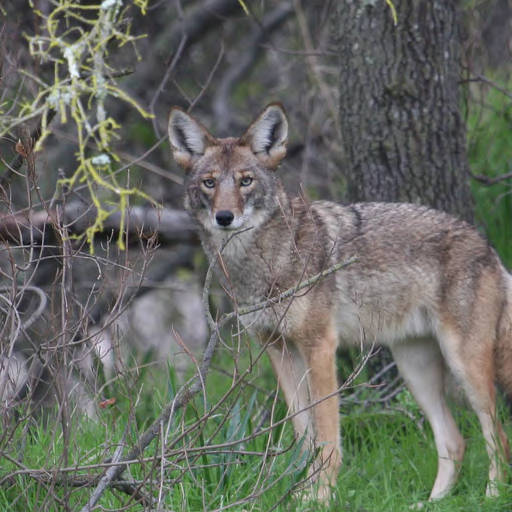 Coyotes move through our area, but haven't caused any problems. Photo by US Fish and Widlife