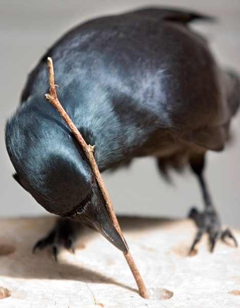 Crow using a stick as a tool. Photo by sciencemag.com