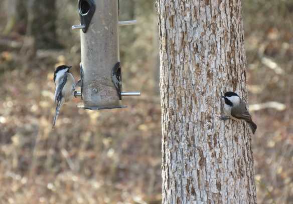 Chickadees at the feeder