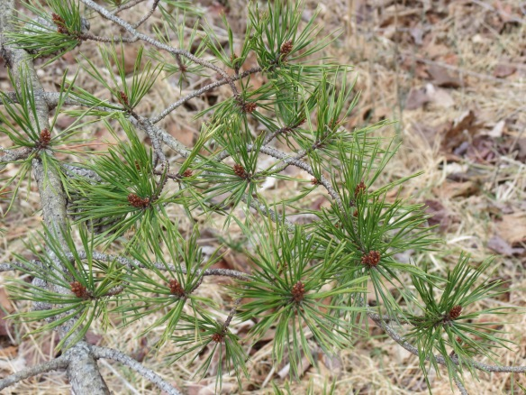 Immature cones forming on terminal ends of Virginia Pine