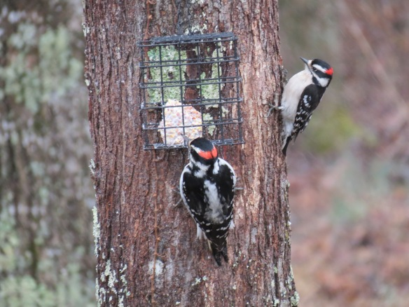 The Hairy Woodpecker at the feeder while the Downy waits his turn