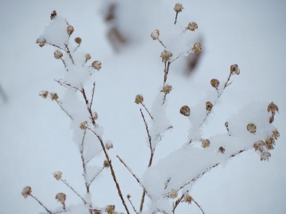 Seadheads from last year's ironweed