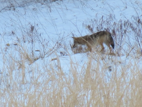 coyote looking for mice
