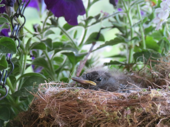 Baby phoebe in nest