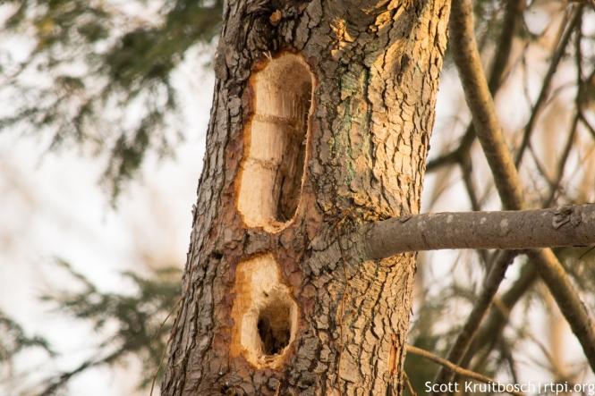 Pileated-Woodpecker-holes-tree-0044