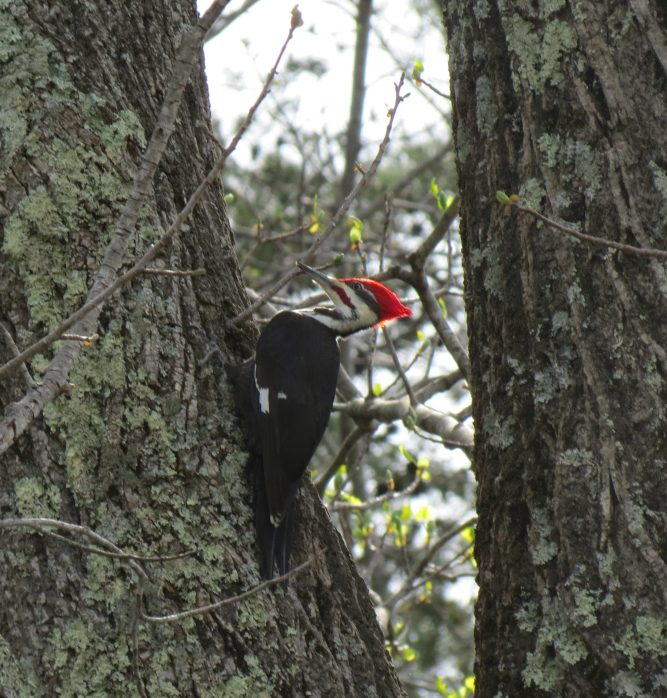 Pileated woodpecker4.2017